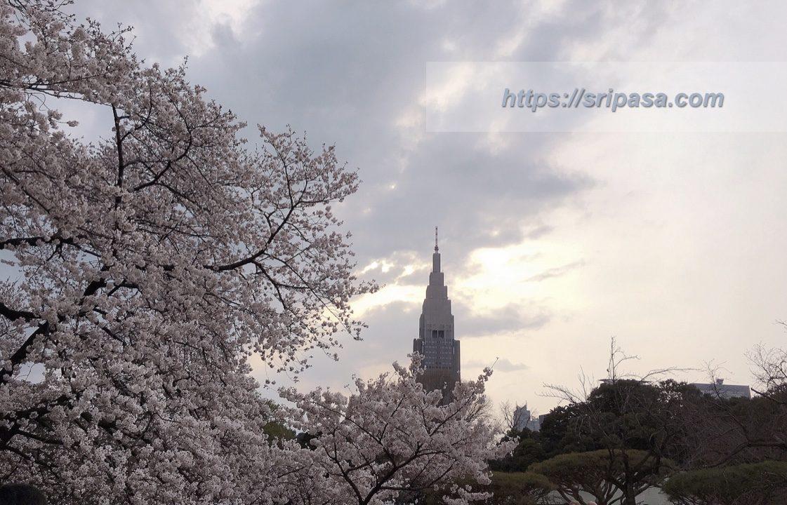桜@東京・新宿御苑