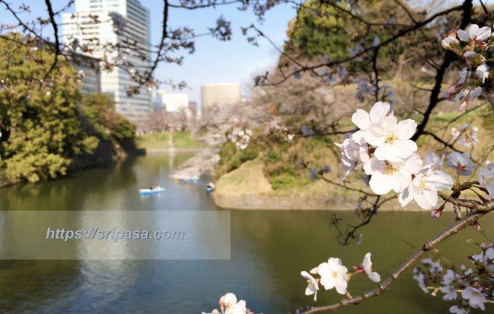 東京・千鳥ヶ淵の桜